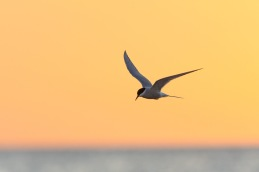 Arctic tern / Silvertärna _DSC2665