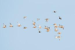 Bar-tailed godwit - Grey plover / Myrspov - Kustpipare _DSC6256