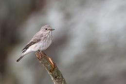 Spotted flycatcher / Grå flugsnappare _DSC7384