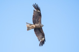 Black kite / Brunglada _DSC7479