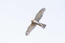 Sparrow hawk / Sparvhök_DSC8064
