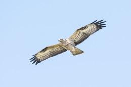 Honey buzzard / Bivråk _DSC8260