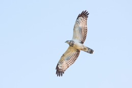 Honey buzzard / Bivråk _DSC8021