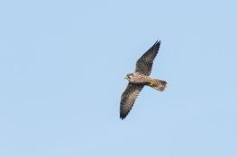 Peregrine falcon / Pilgrimsfalk_DSC4686