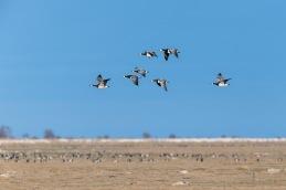 Barnacle goose / Vitkindadgås _DSC0792