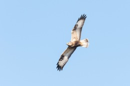 Rough legged buzzard / Fjällvråk _DSC0816