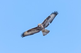 Common buzzard / Ormvråk _DSC1071