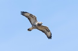 Rough legged buzzard / Fjällvråk _DSC1163