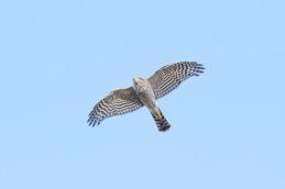 Sparrowhawk / Sparvhök _DSC9964