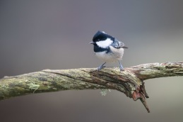 Coal tit / Svartmes _UAN5320