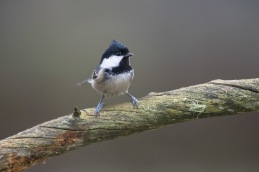 Coal tit / Svartmes _UAN5456