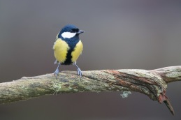 Great tit / Talgoxe _UAN5563
