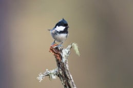 Coal tit / Svartmes _UAN6011