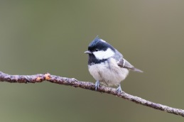 Coal tit / Svartmes _UAN6239