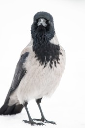 Hooded Crow / Kråka _DSC1411