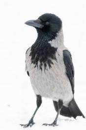 Hooded Crow / Kråka _DSC1347