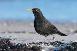 Blackbird / Koltrast _UAN7918