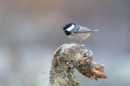 Coal tit / Svartmes _UAN8195