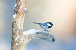Coal Tit / Svartmes _UAN8506