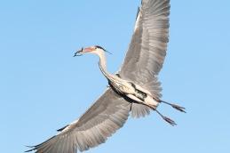 Grey Heron / Häger_UAN1861