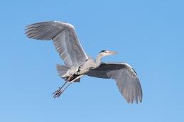 Grey Heron / Häger _UAN1920