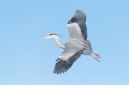 Grey Heron / Häger _UAN1961