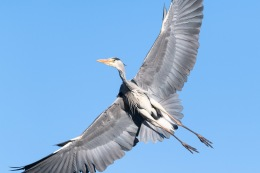 Grey heron / Häger _UAN2192
