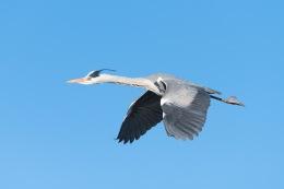 Grey heron / Häger _UAN2333