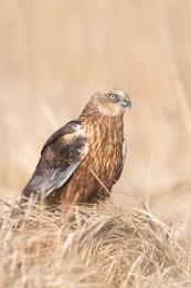 Marsh harrier / Brun kärrhök _UAN5471