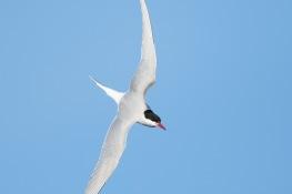 Common Tern / Fisktärna _DSC0318