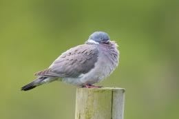 Wood pigeon / Ringduva _UAN8720