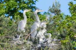 Grey heron / Häger _UAN9166