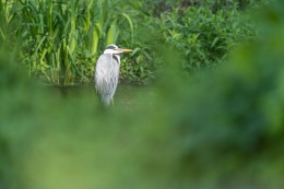 Grey heron /Häger _UAN9235