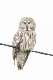 Great grey owl / Lappuggla _UAN1510