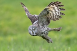 Great grey owl / Lappuggla _UAN1646