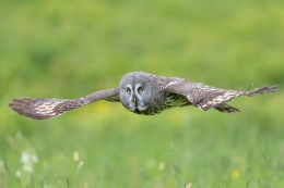 Great grey owl / Lappuggla _UAN1647