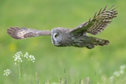 Great grey owl / Lappuggla _UAN1649