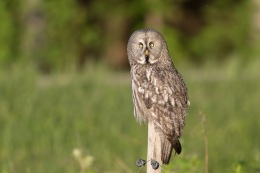 Great grey owl / Lappuggla _UAN1689