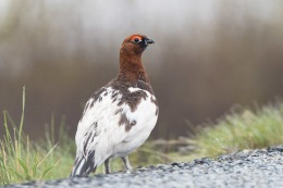 Willow ptarmigan / Dalripa _UAN3905