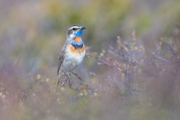 Bluethroat / Blåhake _UAN4290