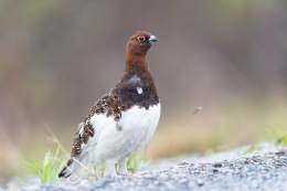 Willow ptarmigan / Dalripa _UAN5119