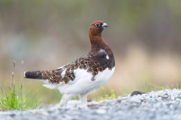 Willow ptarmigan / Dalripa _UAN5172