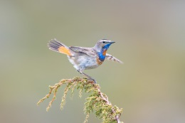 Bluethroat / Blåhake _UAN5408