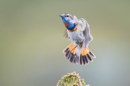Bluethroat / Blåhake _UAN5435