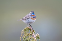 Bluethroat / Blåhake _UAN5532
