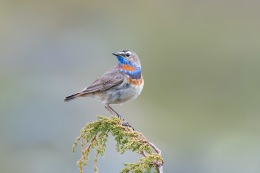 Bluethroat / Blåhake _UAN5444