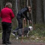 Åsa Bagge instruktör håller koll när Ida  Överbring skickar ut bearded collien Malte på spår  Foto Inger Bergström