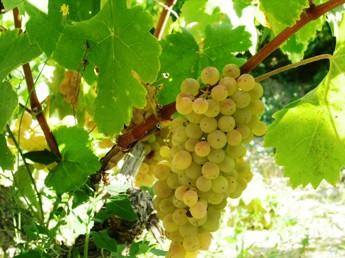 Perfekt mogna Chardonnaydruvor i Penedès