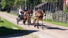 Gotlandsrussen Trull och Junijus i tandem, Leil Trull först! Foto Hannerz