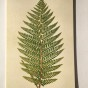 Ask med Vykort, Botanic ferns